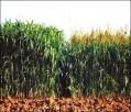 Hạt cỏ cao lương cho bò sữa
