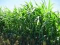 Hạt cỏ cao lương ngọt