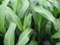 Hạt cỏ cao lương năng suất cao