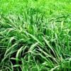 Hạt giống cỏ Mombasa
